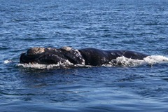 Sothern Right Whale